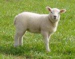 lamb_01